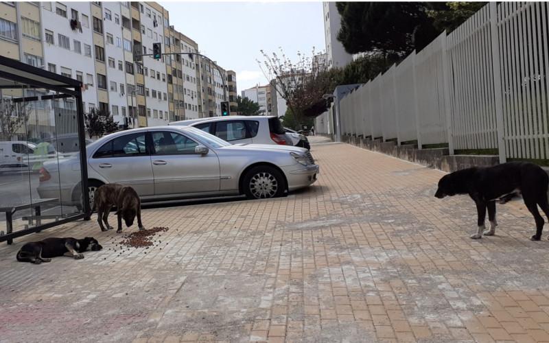 Matilha de cães em Massamá